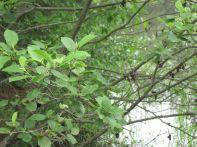 Alnus incana spp. rugosa (speckled alder)