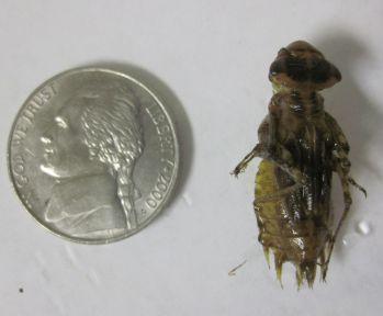 Libellulidae larva (dragonfly)