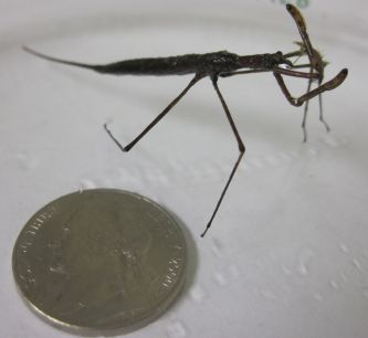 Nepidae (water stick insect)