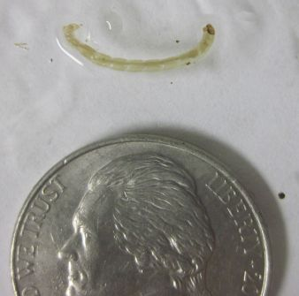 Trichoptera larva (caddis fly)