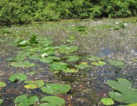 White water lily (Nymphaea odorata) in flower.