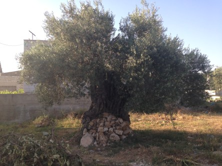 No big deal. Just an Olive tree dating back to around Roman times