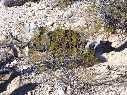 Can you spot the two javelinas?