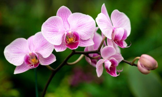orquidea-mariposa-xl-668x400x80xX