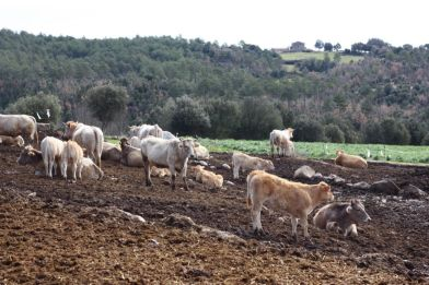 fuives-vacas