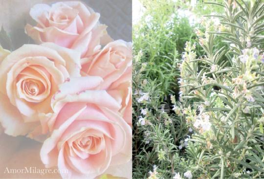 Amor Milagre Soft Light Roses Nursery Garden The Shop at Dove Cottage Art & Design amormilagre.com
