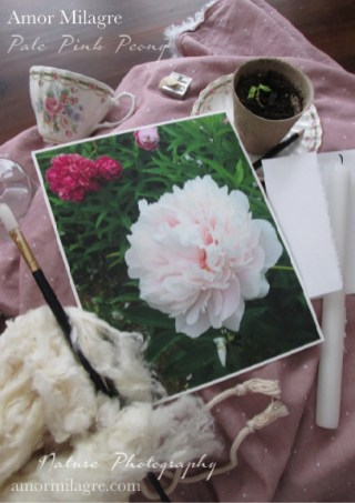 Pale Pink Peony Nature Photography Art Print Greeting Card Amor Milagre amormilagre.com 1