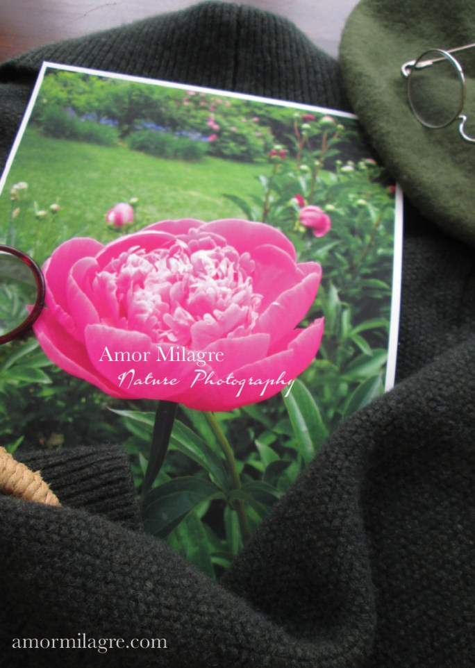 Amor Milagre Magenta Peony Flower Garden View nature photography 1 amormilagre.com