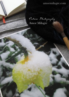 Amor Milagre Sleeping Yellow Daffodil in the Snow Flower nature photography amormilagre.com