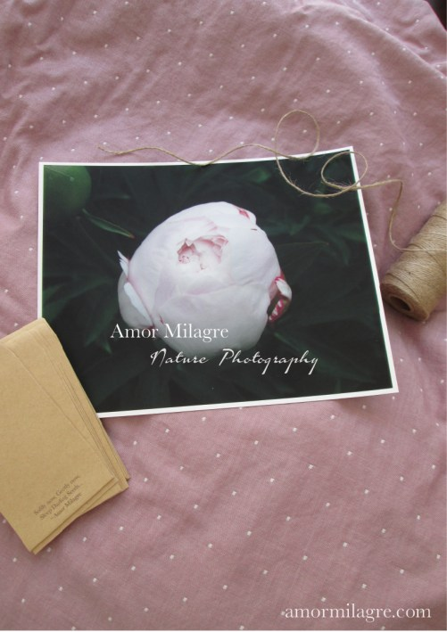Pale Pink Peony Bud Nature Photography Art Print Greeting Card Amor Milagre 1 amormilagre.com