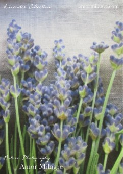 Amor Milagre French Lavender Collection Nature Flower Photography Art Print amormilagre.com 1