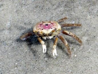 female sand fiddler crab - south beach, Jekyll Island