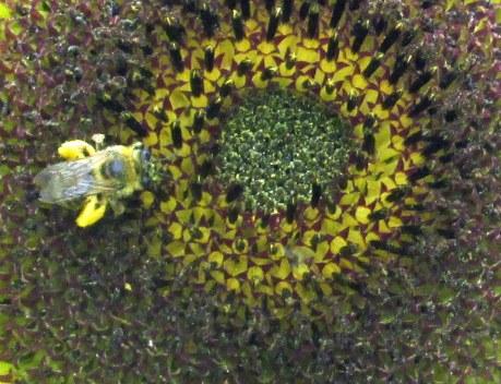 centerofsunflowerlikekaleidoscopewithbeeSW6Sept2014