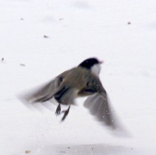 chickadee in flight over snow, 6 Feb 2015