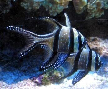 twoblueblackwhiteBangaiiCardinalfishPterapogonKaudernifishNEAquarium12Nov2014