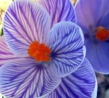 purplewhitestripedcrocuses18April2015