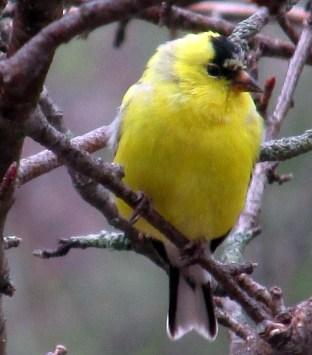yellowgoldfinchappletreeb20April2015