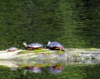Eastern painted turtles on log, 6 May 2015