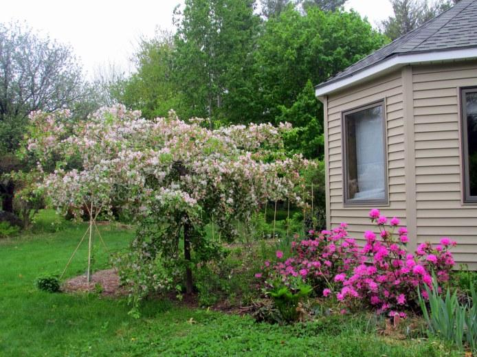 weepingJadecrabappleandOlgaMezittrhododendroninbloom18May2015