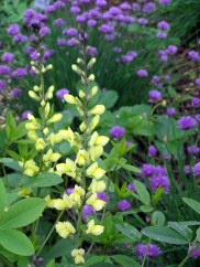 'Carolina Moonlight' baptisia and chives