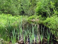 vernal pool with cattails, 6 June 2015