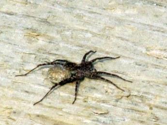spideronbridgeBridgePoolConnRiverPittsburgNH10July2015