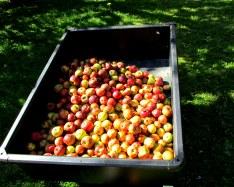 apples, Oct. 2013