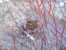 bird's nest, 31 March 2013