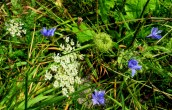 chicory and Queen Anne's Lace, Sept. 2014