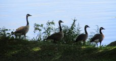 Canada geese, 18 Aug 2014