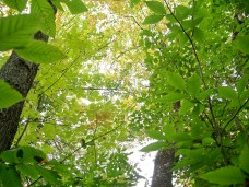 tree canopy on local trail, Sept 2010