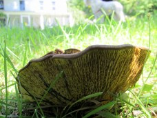 maybe Boletinellus merulioides fungus, 25 Aug 2014