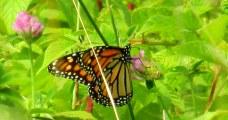 monarchbutterflyoncloversideviewwithgrassKHNP23Aug2014