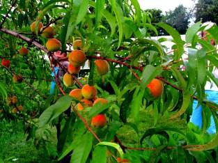 peaches, Aug. 2013