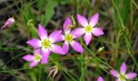 pinkfivepetaledflowersClamCreekcloserJI23June2014