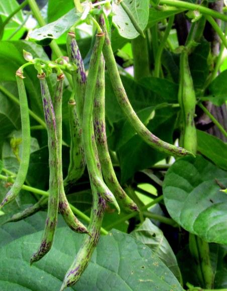 rattlesnake beans, Aug. 2014