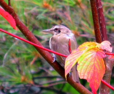red-eyed vireo in pagoda dogwood, Aug 2014