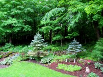 conifer garden, June 2015