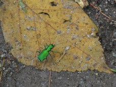 six-spotted tiger beetle, 14 June 2013