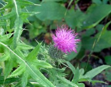 thistle, 1 Sept 2014