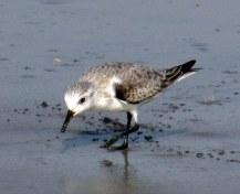 sanderlingbirdlegscrossednorthbeachJekyll24Dec2015