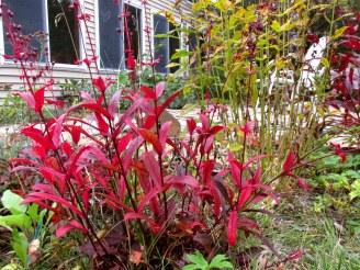 redpenstemonfoliagesunroom13Oct2015