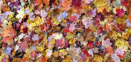 fallleavesfoliagecolourwidevins20oct2015