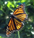 monarchbutterflywingsoutstembedrockgarden17sept2016