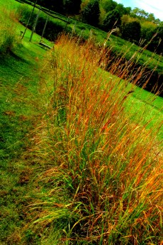 grasses rooted, Path of Life, VT, Oct. 2016