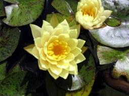 yellowwaterlilieswigglewagglebedrockgardens17sept2016