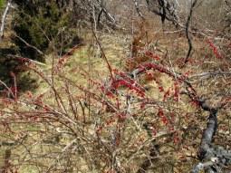 japanesebarberryredberriesodiornepointsp13march2016