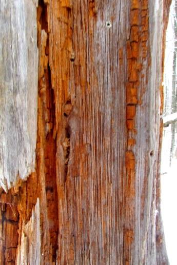 striping under the tree bark