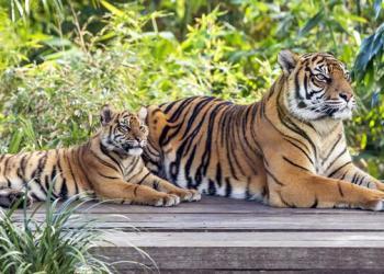 Foto: Harimau (Ilustrasi)/Ist.net