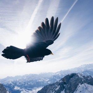 Oiseau vole dans le ciel en haut des rocheuses